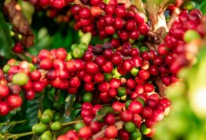 The Different Types Of Coffee Beans